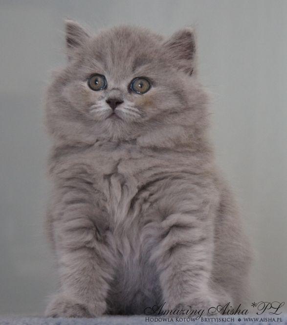 kot brytyjski długowłosy - WIRGINIA mam 6 tygodnie
