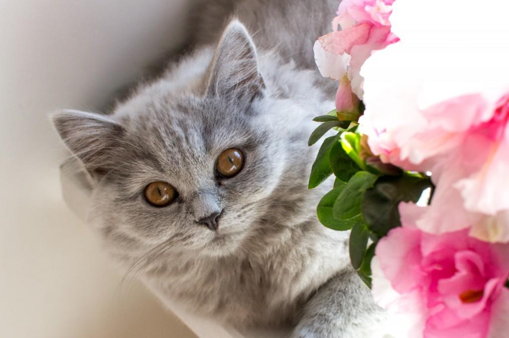 kot brytyjski długowłosy - WIRGINIA  w nowym domku- mam 4 m-ce
