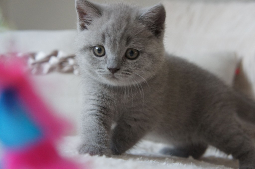 koty brytyjskie  niebieskie i liliowe -XAVIERE