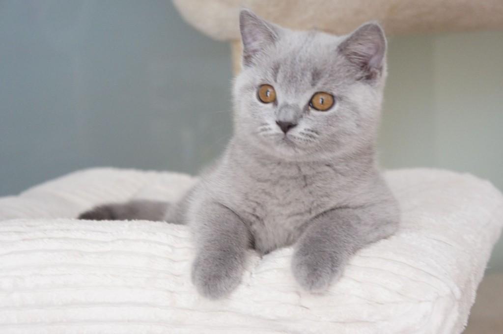 koty brytyjskie  niebieskie i liliowe -XAVIERE  12 tygodni
