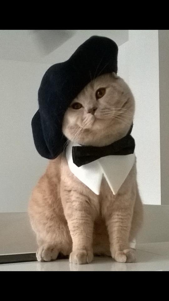 Westmister Amazing Aisha*PL - kot brytyjski kremowy w nowym domu