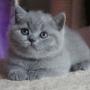 -koty-brytyjskie-niebieska Pennsylvania-amazing-aisha