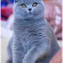 nuna--koty-brytyjskie-pennsylvania-Foto: Ivana Mrázová
